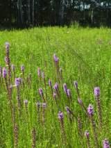showy Liatris on southeastern Wisconsin prairie remnant