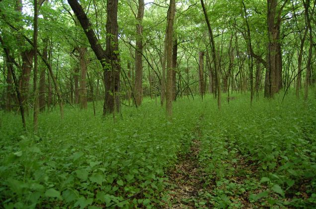 woodland understory taken over by invasive Garlic Mustard