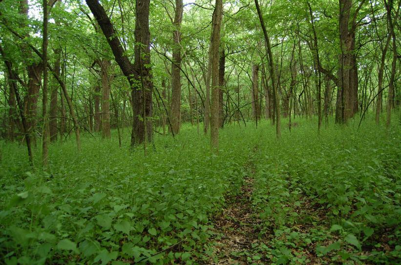 woodland understory taken over by invasive Garlic Mustard