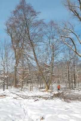 felling trees at UW Arboretum